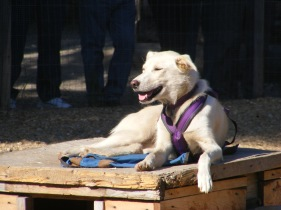 a beautiful Alaska sled dog ...