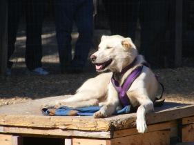a beautiful Alaska sled dog ...