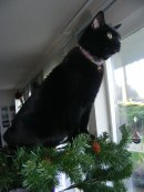 Shadow helping put up the Christmas tree
