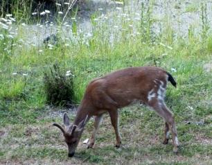 Deer at Rosario's...