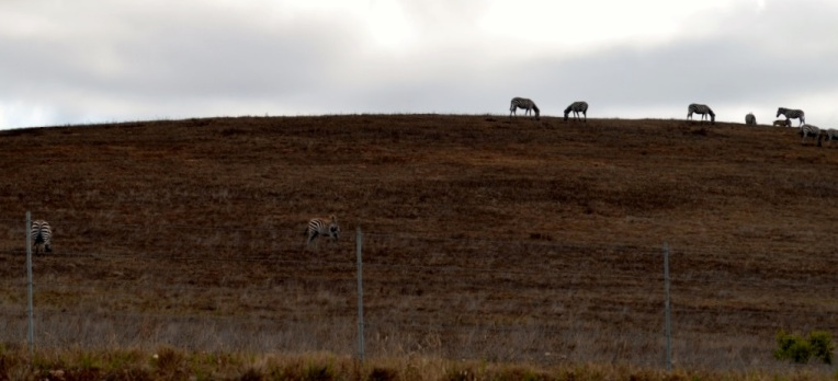14. Stop on the road to see the zebras ...