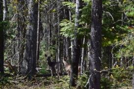 Deer, always alert...