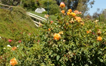 roses ... many colorful varieties