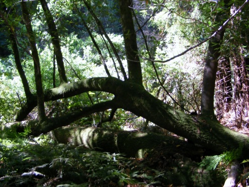 Muir Woods 2