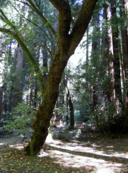 Muir Woods