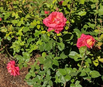 Rose Garden 10