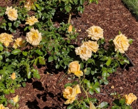 Rose Garden 13