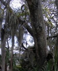 16 tree_moss