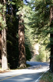 Road thru Ave of Giants