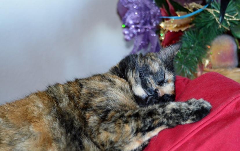 Photos ~ A Beautiful Tortoiseshell Cat…