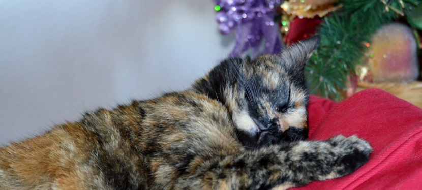 Photos ~ A Beautiful Tortoiseshell Cat …
