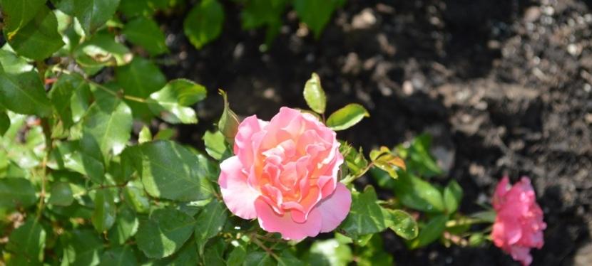 Boise Rose Garden ~ Boise ID ~ Photos ~Quotes