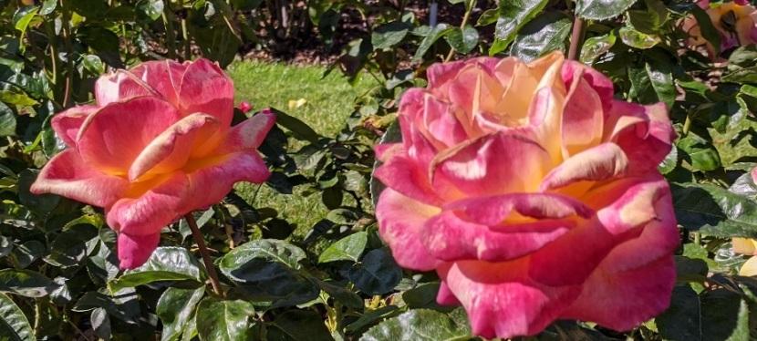 Rose Garden ~ Point Defiance Park, Tacoma, WA ~ early September,2021
